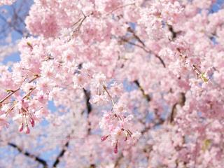 桜の写真・画像素材[1793039]