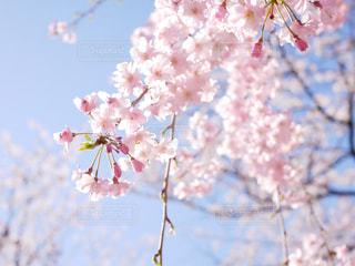 桜の写真・画像素材[1813806]