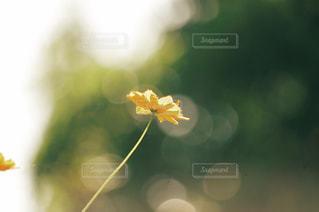 花,秋,植物,コスモス,黄色,景色,可愛い,イエロー,玉ボケ,カラー,黄,yellow,公演,フォトジェニック,インスタ映え