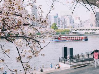 桜と屋形船の写真・画像素材[1833329]