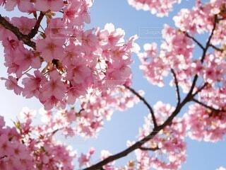 河津桜の写真・画像素材[4224427]