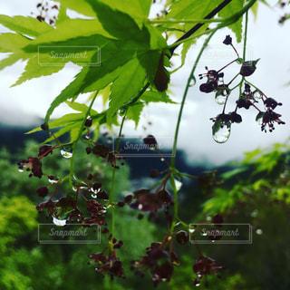 緑,水,葉っぱ,水滴,ガラス,雫,ウォーター,しずく,滴,water,郡上八幡