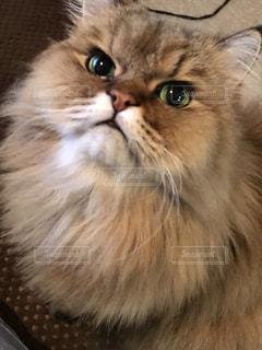 近くにカメラを見て猫のアップの写真・画像素材[1685168]