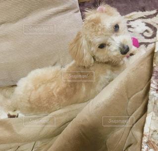 こたつの中でぬくぬくうとうとな犬の写真・画像素材[1754537]
