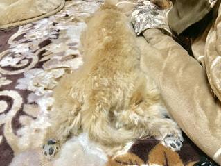 こたつの中でぬくぬくうとうとな犬の写真・画像素材[1754540]
