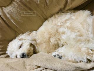 こたつの中でぬくぬくうとうとな犬の写真・画像素材[1754552]