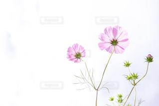 秋桜の写真・画像素材[1686130]