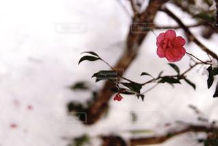 雪と椿の写真・画像素材[1756059]