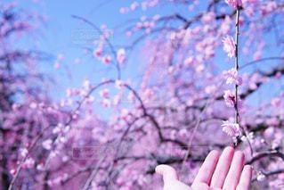 木の上の紫の花の束の写真・画像素材[1834807]