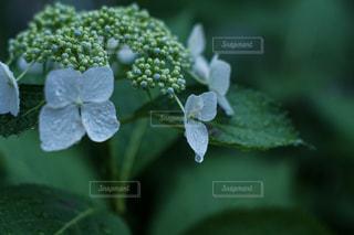 雨に濡れた紫陽花の写真・画像素材[2159100]