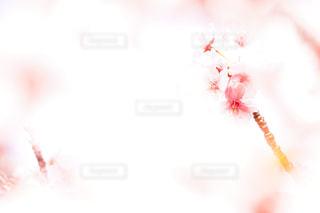 サクラのクローズアップの写真・画像素材[3003001]
