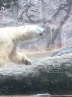 旭山動物園のシロクマの写真・画像素材[1685380]
