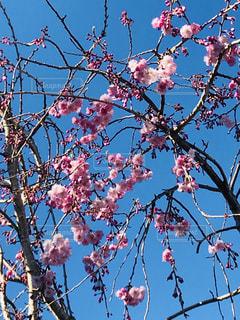 川越の河川敷てお花見の写真・画像素材[1934153]