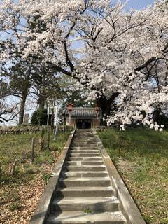 花,春,桜,ピンク,神社,花見,石段