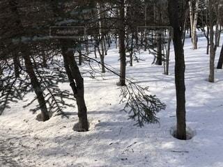雪は木の周りからまん丸に溶けていくって知ってた?の写真・画像素材[1732950]