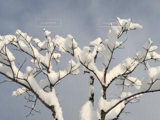 木の枝にこんもり積もりました。の写真・画像素材[1767454]