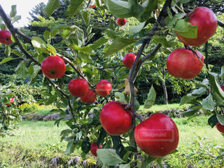 木,枝,フルーツ,りんご,果樹園,真っ赤,りんご畑,枝付き