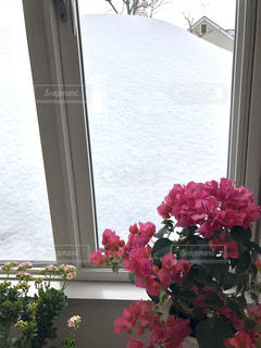 窓の外は積雪ですが室内はブーゲンビリアが咲くのが北海道の室内。の写真・画像素材[1806865]