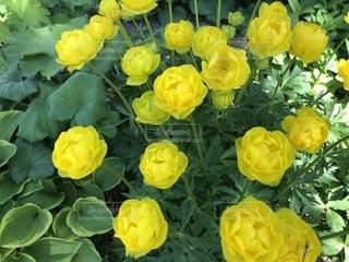 花,黄色,北海道,つぼみ,黄色の花,あいの里,ロイズガーデン