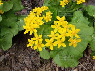 黄色の花,野草,春一番,ヤチブキ,エゾノリュウキンカ,北海道で雪を割って春一番に咲くのはこの黄色い花、エゾノリュウキンカ、別名ヤチブキ。