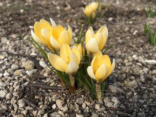 花,黄色,黄色の花,黄色クロッカス