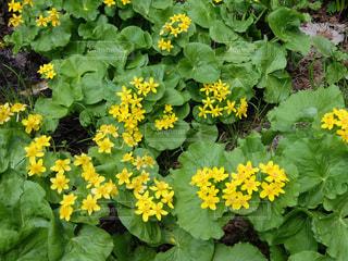 花,黄色,野草,ヤチブキ,エゾノリュウキンカ