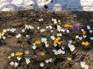 残雪の間からニョキニョキに出てくるクロッカス。かわいい。の写真・画像素材[2026017]