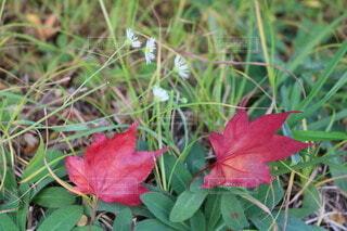 緑の草の上に赤いモミジの写真・画像素材[3823768]