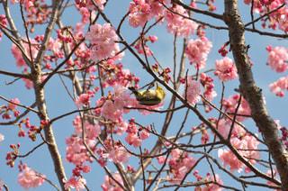春,動物,鳥,花見,お花見,メジロ,小鳥,目白