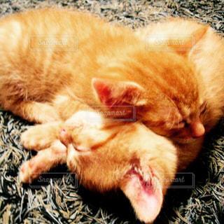 子猫の写真・画像素材[244240]