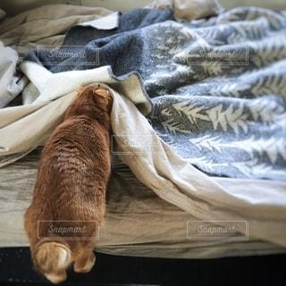 茶トラ猫の写真・画像素材[2490950]