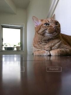 茶トラ猫の写真・画像素材[2490962]