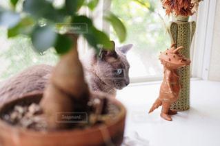 トンキニーズの写真・画像素材[2311279]