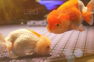 ぷくぷく金魚の写真・画像素材[1696097]
