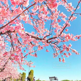 桜,ピンク,青い空,お花見,熱海,いい天気,大寒桜