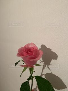 一輪のピンクの薔薇の写真・画像素材[1794157]
