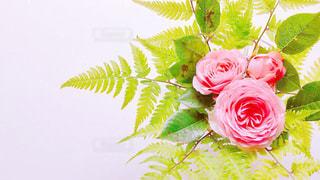 薔薇とシダの写真・画像素材[2139299]