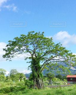 くるみの木の写真・画像素材[2147439]