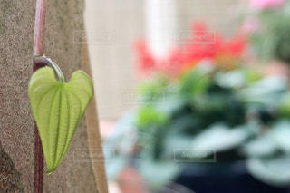 ハートの葉っぱの写真・画像素材[2263502]