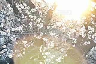 空,夕日,太陽,光,梅の木,梅林,輝き