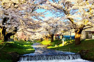 男性,犬,花,春,桜,散歩,景色,桜の花,さくら