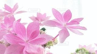 紫陽花の写真・画像素材[3380573]