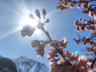 桜の写真・画像素材[4278036]