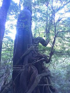女神杉の写真・画像素材[1698732]