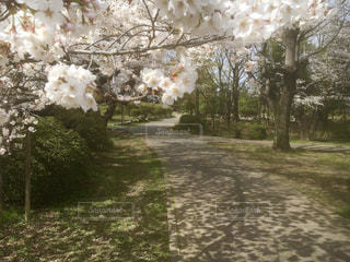 桜満開の写真・画像素材[1703861]