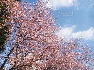 春の桜の写真・画像素材[1809344]