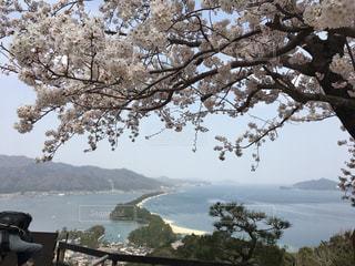 海,桜,京都,水,樹木,お花見,旅行,昼,天橋立,日本三景