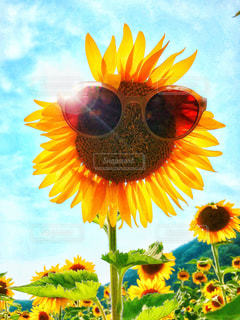 花,夏,ひまわり,サングラス,鮮やか,オシャレ,ひまわり畑,ツアー,bass,色・表現