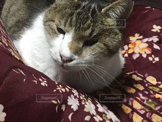 近くに毛布の上に横になっている猫のアップの写真・画像素材[1756133]