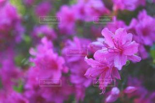 ピンク一色の写真・画像素材[1793974]